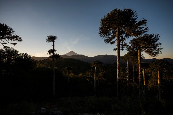 Araucaria and smoking volcanoes on our mountain bike tour Chile