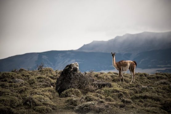 Guanaco in Patagonia, mountain bike tour Chile