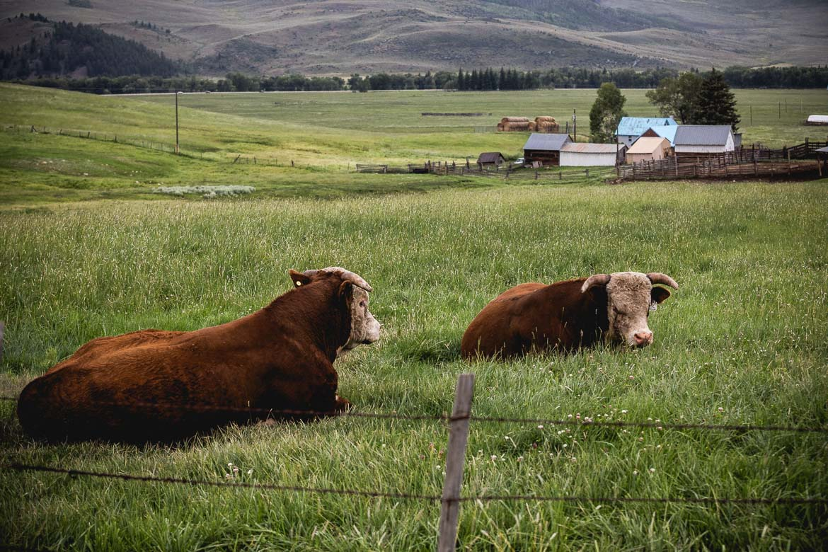Cattle at a ranch in Crested Butte during our mountain bike tour Colorado.