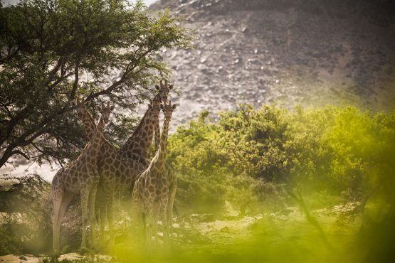 A herd of giraffes spotted on a mountain bike safari tour Namibia