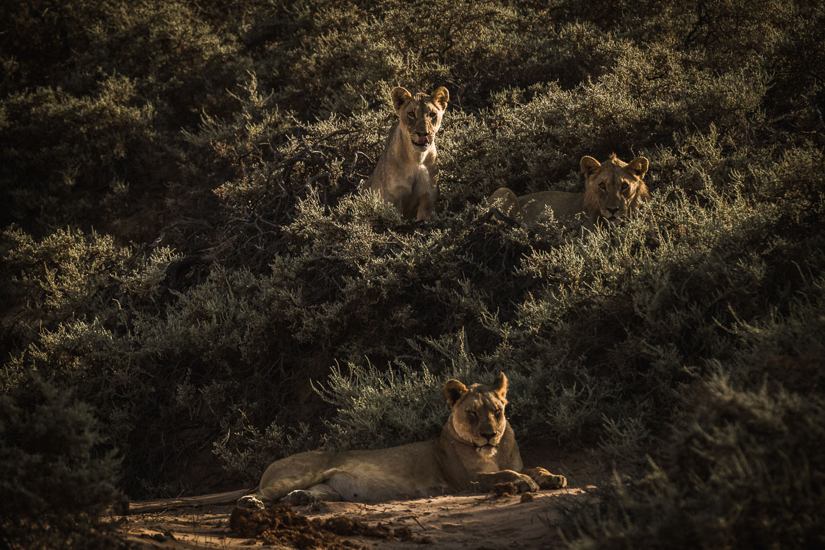 A lucky lion spot on a E-MTB safari of Namibia